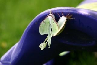 A5-Luna Moths