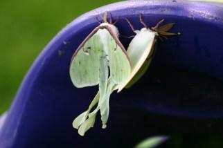 A7-Luna Moths