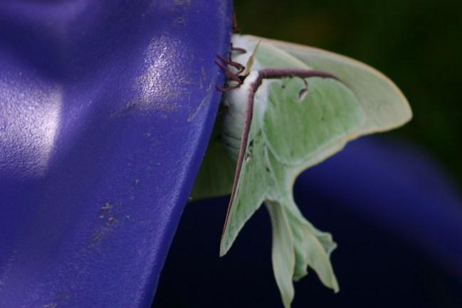 A9-Luna Moths