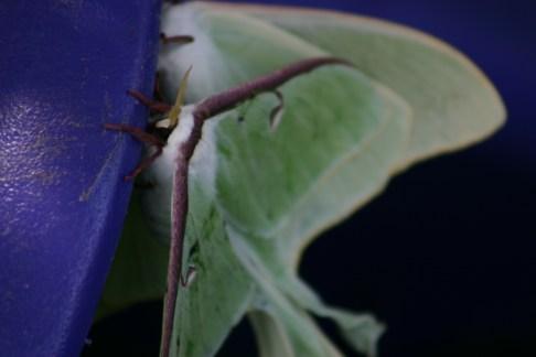 B2-Luna Moths
