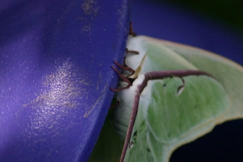 B3-Luna Moths