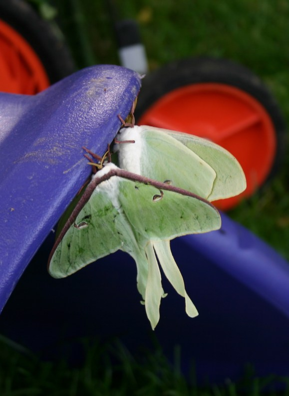 B5-Luna Moths