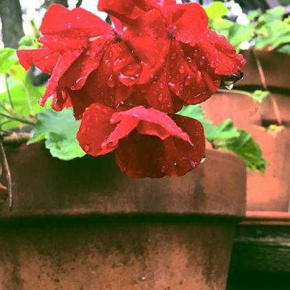 geranium5
