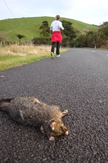 "Because of the possum infestation, and particularly their night time escapades, possums are often turned into what is locally known as ""kiwi speed bumps""."