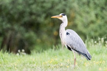The fisherman... Grey Heron (Ardea cinerea)