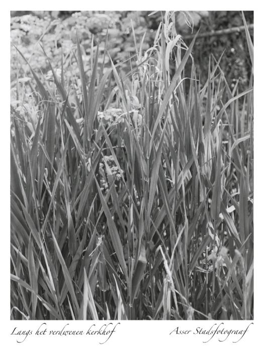 6x7cm zwartwit foto van grassen langs het verdwenen kerkhof in Assen