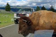 Bison på vägen