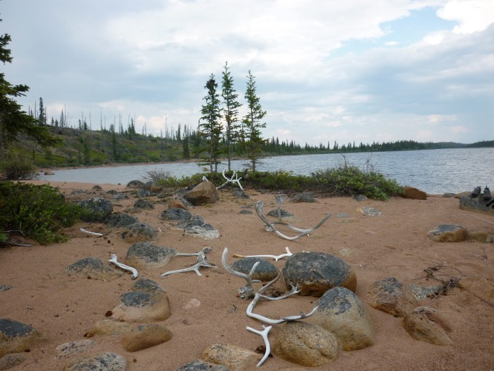 Caribou antlers scatter around our campsite on an esker beach, Hinde Lake