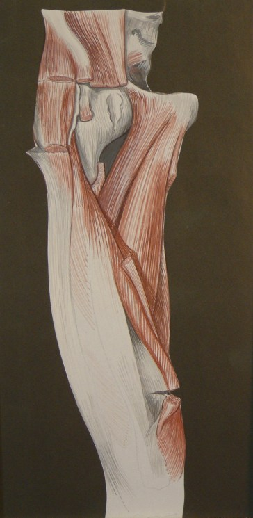 anatomical illustration 2