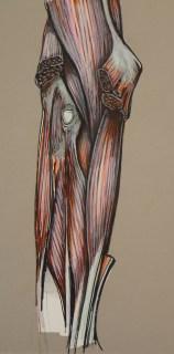 anatomical illustration 3