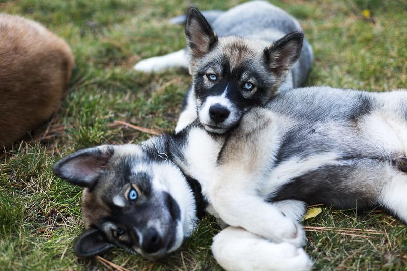 Lake Tahoe Wedding Photographer puppies