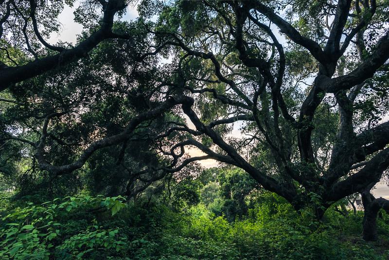 Los Osos live oaks