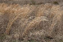 Wikipedia Prairie