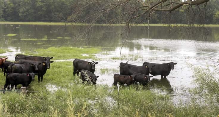 Cows in Wapsi Gazette