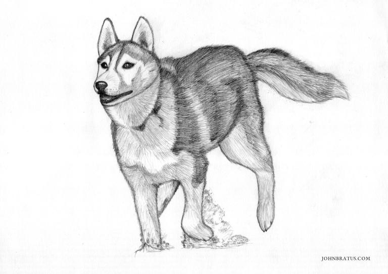 Pencil drawing of a Siberian husky running in snow