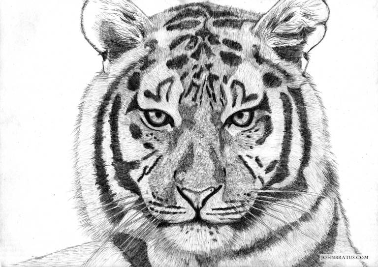 Pencil drawing of a tiger's head