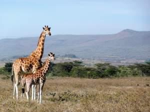 Giraffes in Kenya - John Burton Ltd NZ