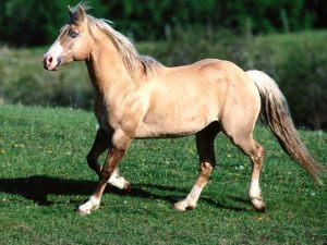 Bundy Palomino Quarter Horse