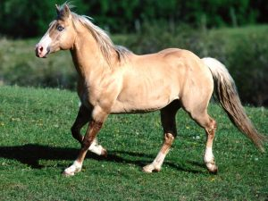 Bundy Palomino Quarter Horse