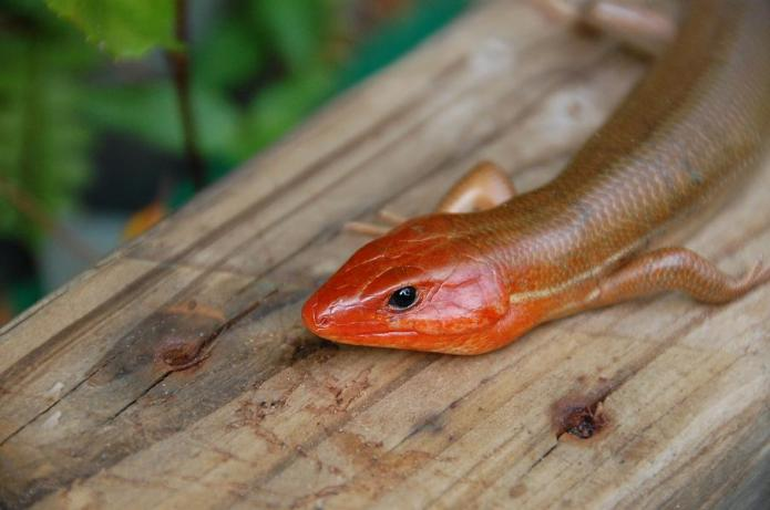 Broad-Headed_Skink-close-up