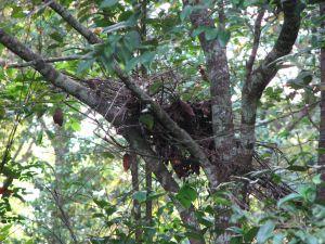 Gorilla_nest (1)