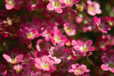 More Pink Flowers