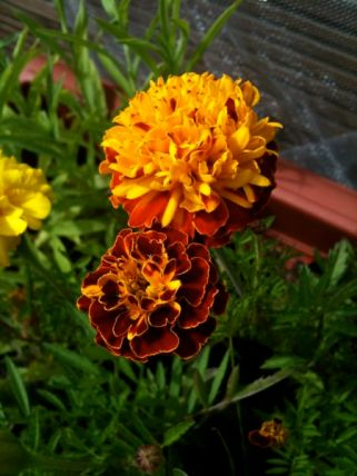 Some Marigolds