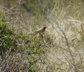 Blurry Redstart