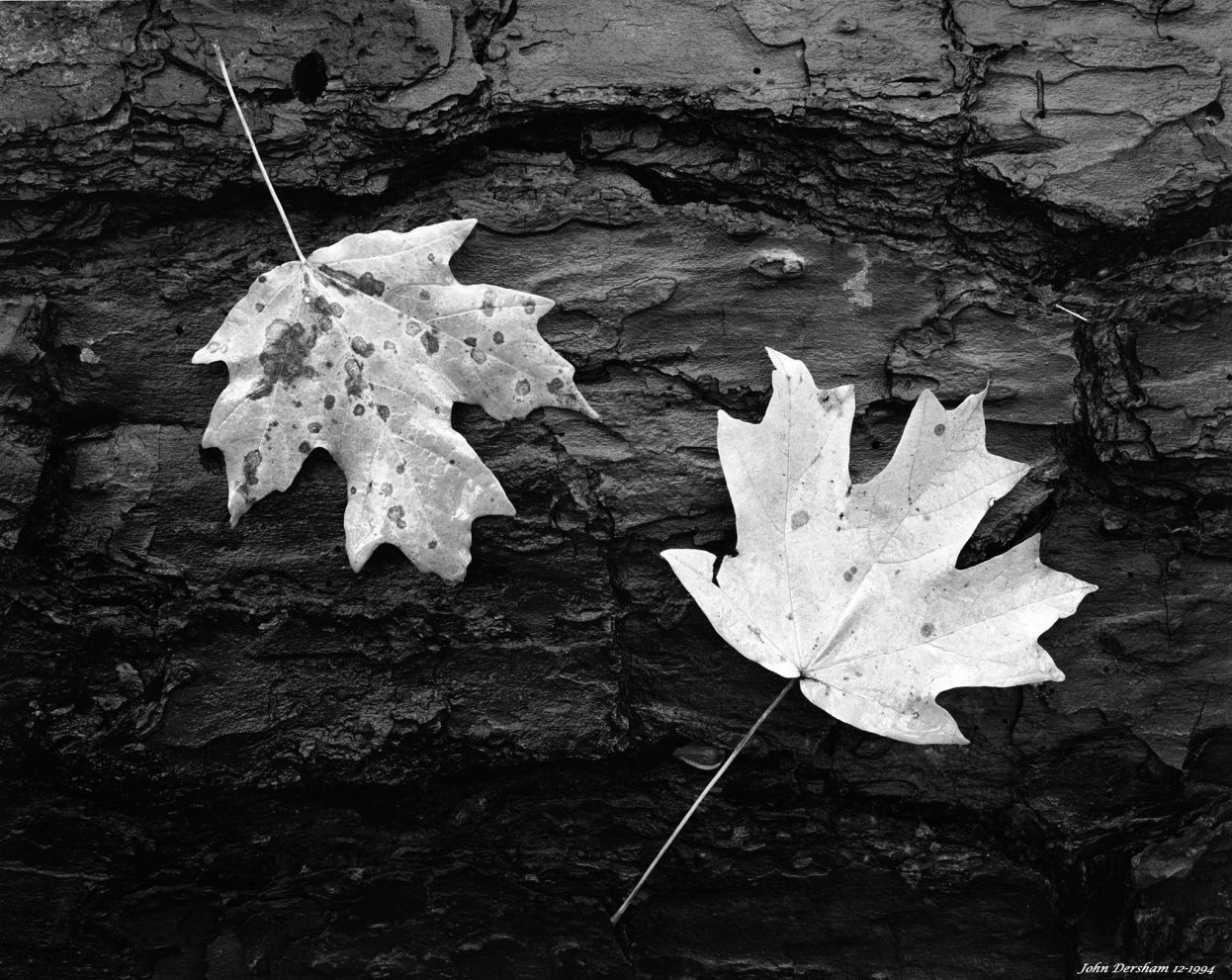 12-27-1994 Maple leaves-Linhof Technika V 4x5 camera-120mm Schneider Super Symmar HM lens-Ilford Delta 400 4x5 film-PMK Pyro developer.