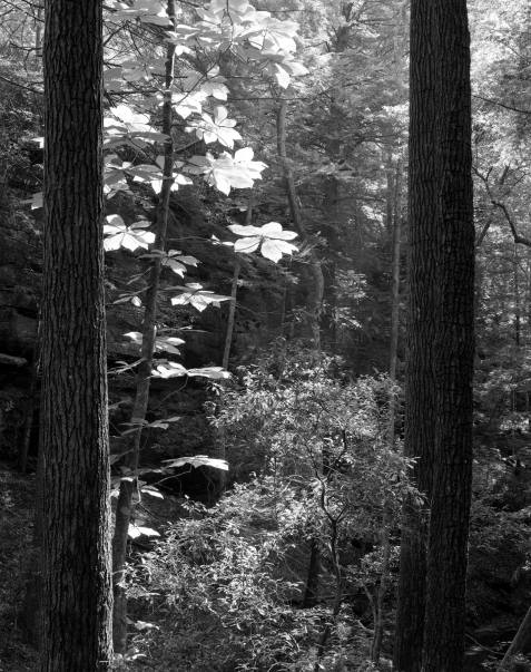 8-10-1996 Sipsey Wilderness-Alabama-Linhof Technika camera-300mm Schneider Xenar lens-Ilford HP5+ 4x5 film-PMK Pyro developer.