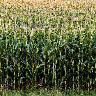 Tassels, Corn, by John Dowell artist photographer