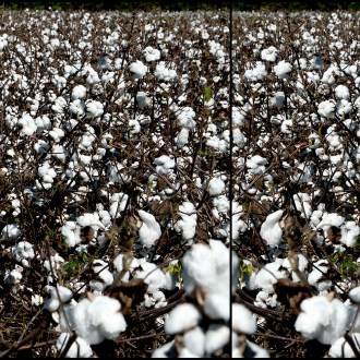 Feeling the Pain, Cotton, by John Dowell artist photographer