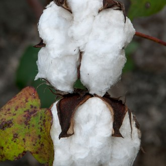 It's Just Cotton, Cotton, by John Dowell artist photographer