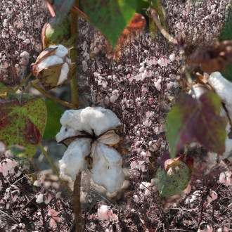 Memory, Cotton, by John Dowell artist photographer