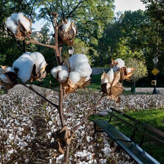 Seneca Village, Cotton, by John Dowell artist photographer