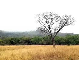 Kiaat tree