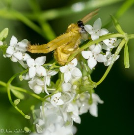 A northern crab spider bags a small fly. This was an unexpected surprise!