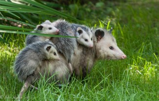 A momma opossum and her four babies