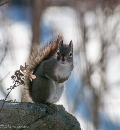 A red squirrel stares me down on our back patio