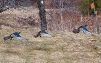 Three wild turkeys take flight along Shaker Mountain Road
