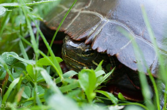 A painted turtle peeks from inside its shell