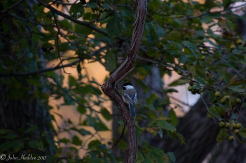A chickadee on a vine