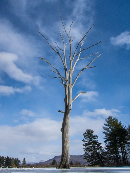 A lone dead elm rises from the ice ate Dead Creek in Addison, Vt.