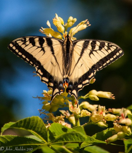 A Canadian swallowtail works the backyard buckeye blossoms