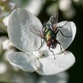 A green bottle fly on a hydrangea blossom on the back patio
