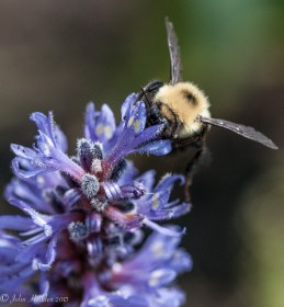 A bumble bee visits a blossom