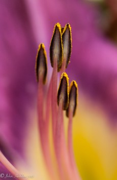 Pollen loaded day lily stamens by the pond