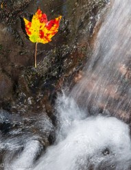 A bright leaf and falling water in Fargo Brook