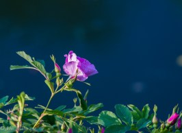 Rugosa rose by the pond