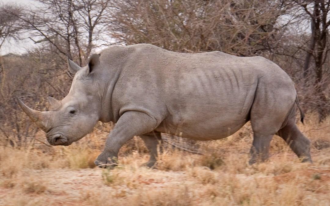 Release the Rhino!